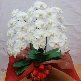 白胡蝶蘭鉢